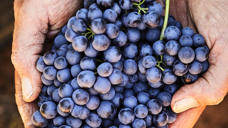 ramassage des raisins-17.jpg